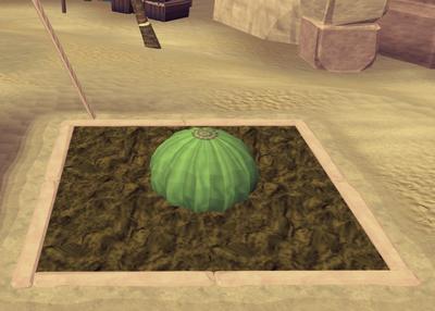 Potato cactus3