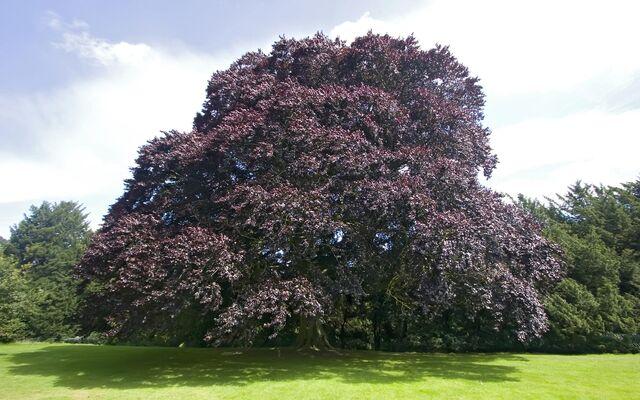 File:Beech-tree-23.jpg