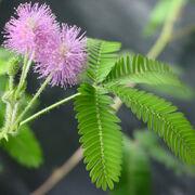 TickleMe Plant flowers