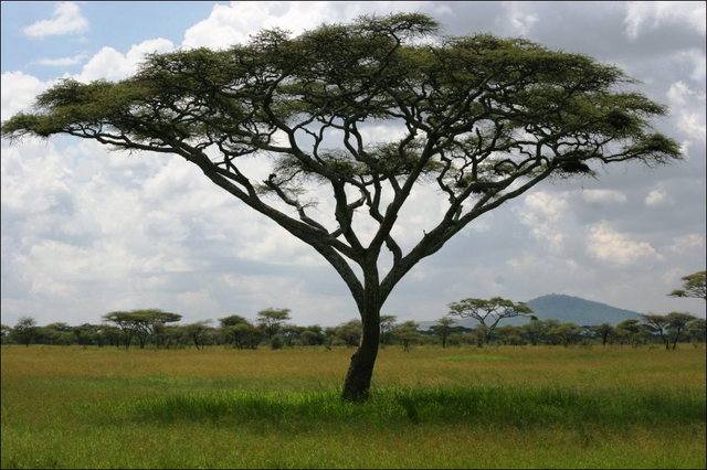 File:Acacia.PNG