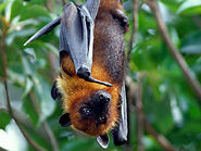 Marianas-flying-fox img01-l