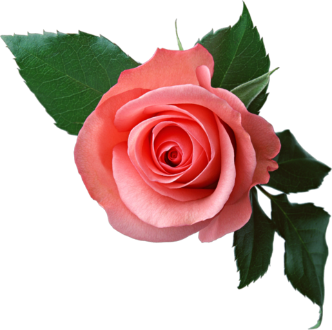 File:Rose PNG6377.png