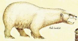 Bardelot male