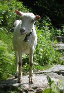 Kinderboerderij - geit