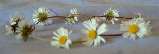 File:Daisy chain wiki.JPG