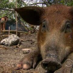 Tikiano's pet pig seen in <a href=