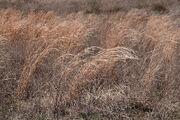 Flamegrass
