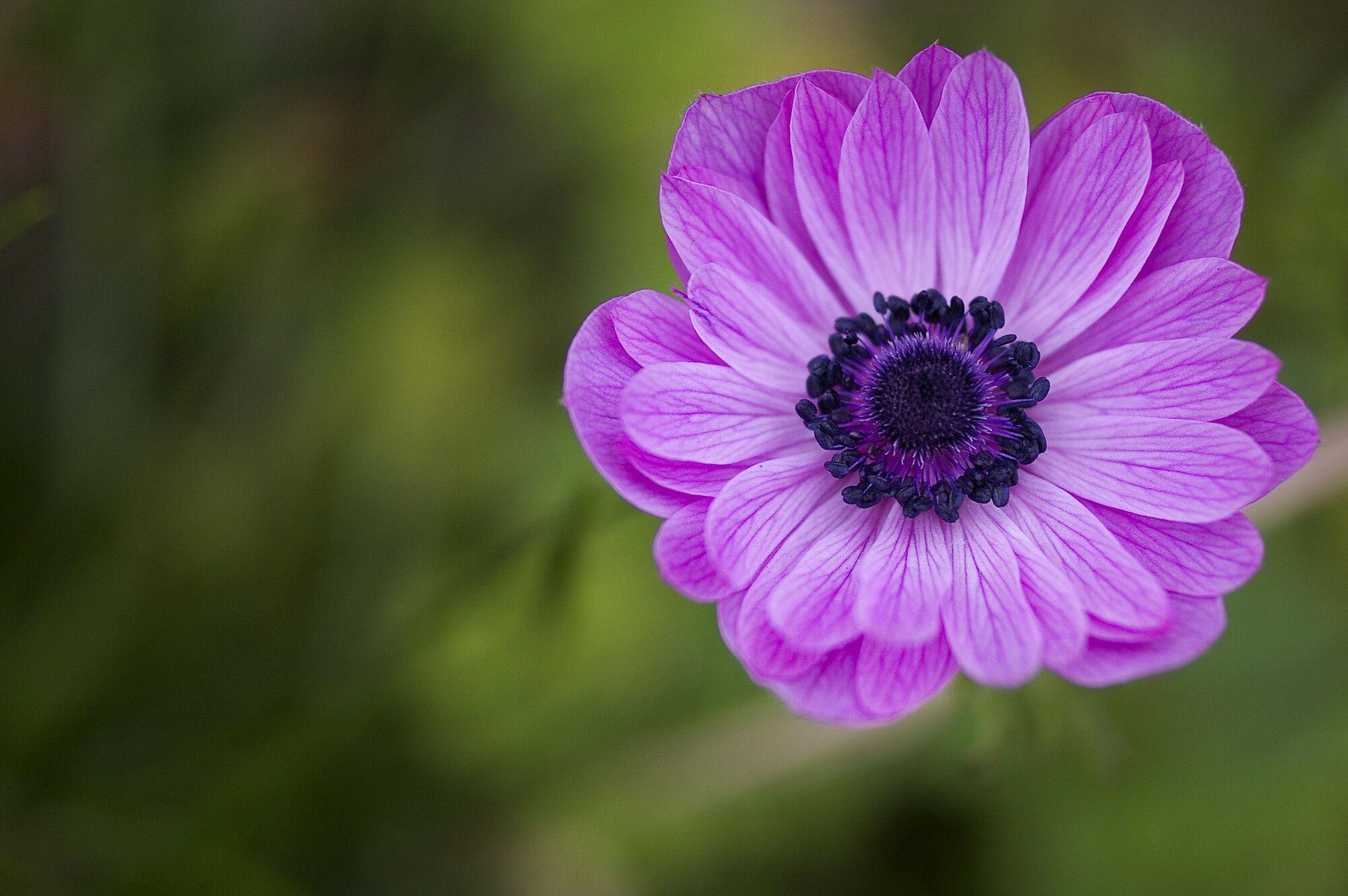 anemone  symbolism wiki  fandom powered by wikia, Natural flower