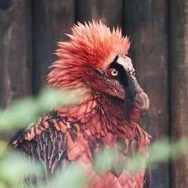 Vulturedragonnid