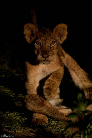 File:Cub at night.jpg