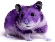 Hamster purple
