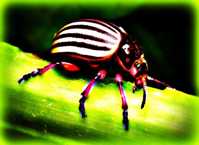 File:Colorado-potato-beetle.jpg