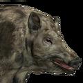 Feral hog female piebald