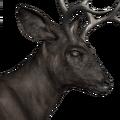 Blacktail deer male melanistic