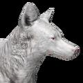 Coyote male albino