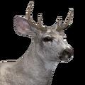 Sitka deer male leucistic