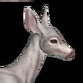 Blacktail deer female albino