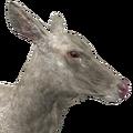 Rocky mountain elk female albino