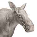Moose female albino