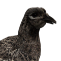 Pheasant female melanistic