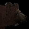 Black bear male cinnamon