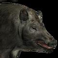 Feral hog female common
