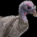 Turkey female grey