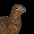 Willow ptarmigan female common