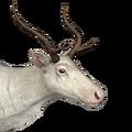Reindeer female albino
