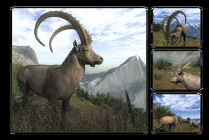 Species alpine ibex 700