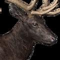 Roosevelt elk male melanistic