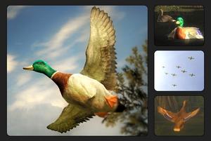 Species mallard duck 700