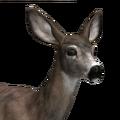 Mule deer female common