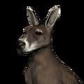 Red kangaroo female common