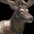 Red deer male piebald