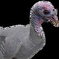 Turkey female albino