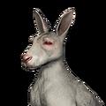 Red kangaroo female albino
