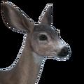 Sitka deer female common