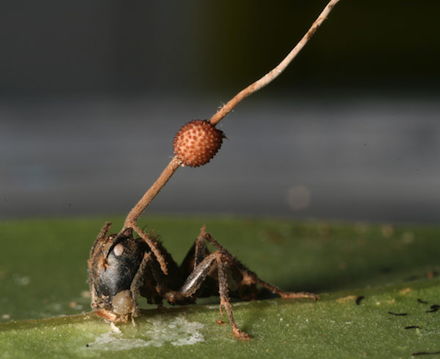 Cordyceps U. fruiting from a host ant head