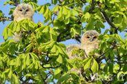 Tawny Owl (S.Allen)