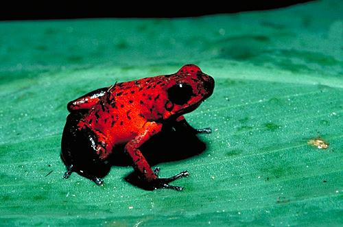 File:Poison-Arrow-Frog.jpg
