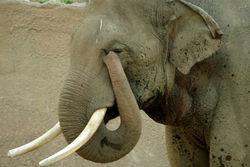 File:250px-Lightmatter elephanttrunk.jpg