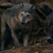 Embry-wolf-eclipse