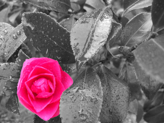 File:Colorsplash-pink-flower.jpg