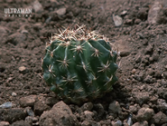 Sabotender Cactus Form