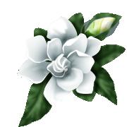 File:White rose.png