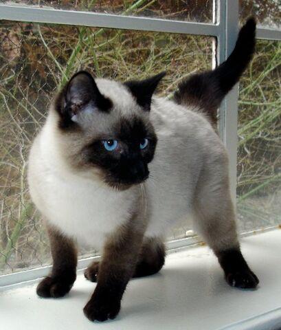 File:Siam-cat.JPG