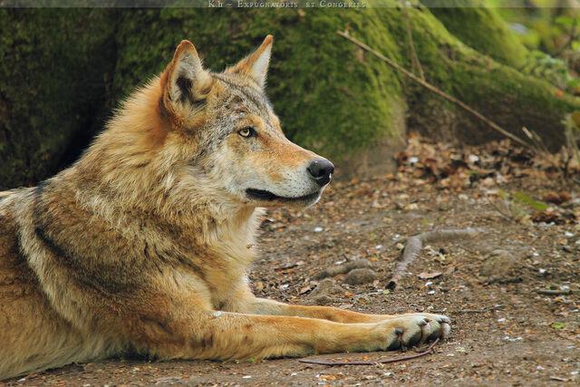 File:Sandy wolf by khevyel-d3gdt8j.jpg