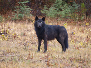 A real Wolf
