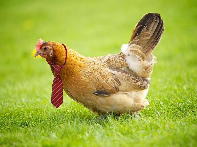 File:Hen in a tie.jpg
